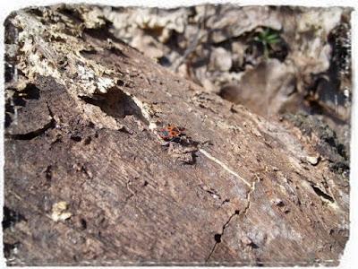 Краснокло́п бескрылый (Pyrrhocoris apterus)