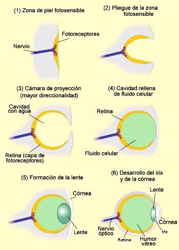 Evolucion del ojo