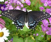 Raising Swallowtails