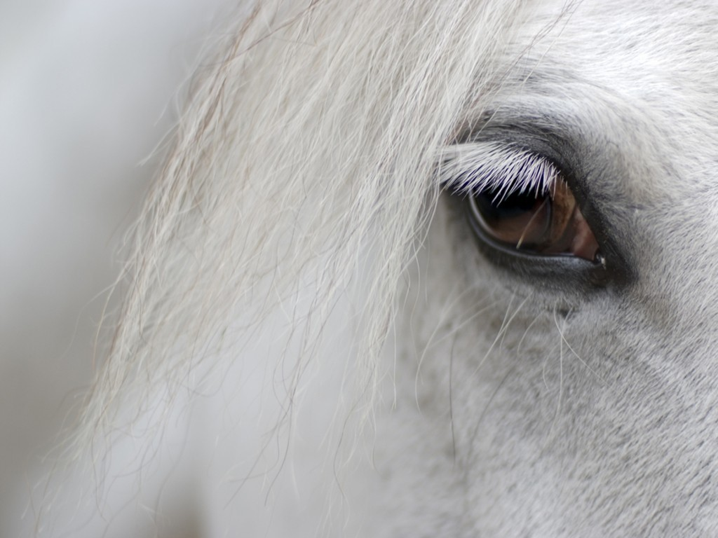 detail of white horse head with long eye lashes