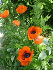My Poppies