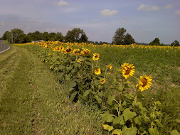 Sunflower Row