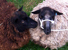 Shetland ewes