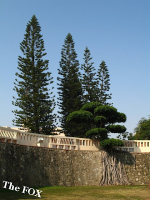 南洋杉台南老樹