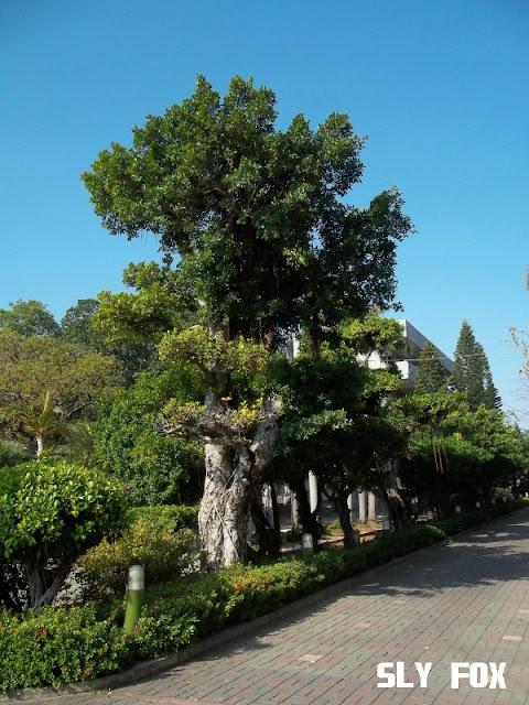 台南市立人國小老樹