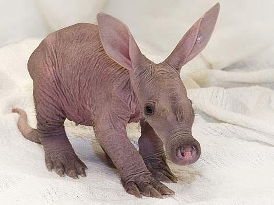 filhote de aadvark, aadvark quando criancinha, bebe aardvark