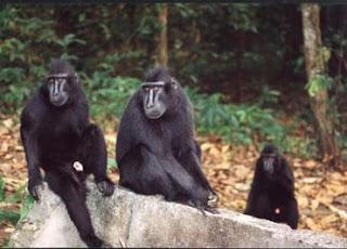 celebes black monkey