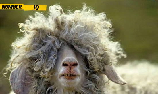 10 reasons why Goats are the most beautiful animals ~ UNUSUAL THINGs