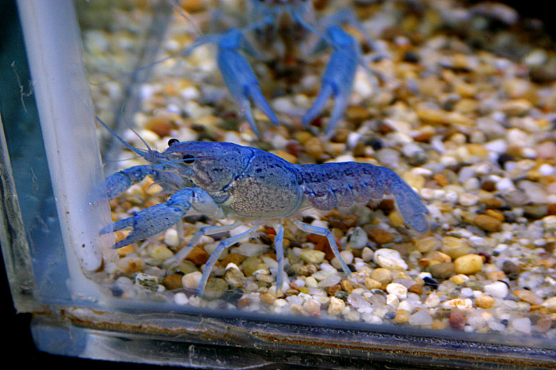Awesome blue lobsters general tropical discussion for Petco koi fish