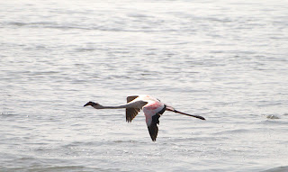 A Flamingo winging it at Sewri