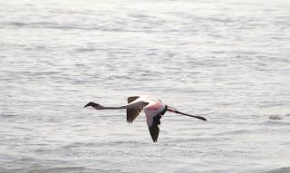 A Flamingo winging it at Sewri
