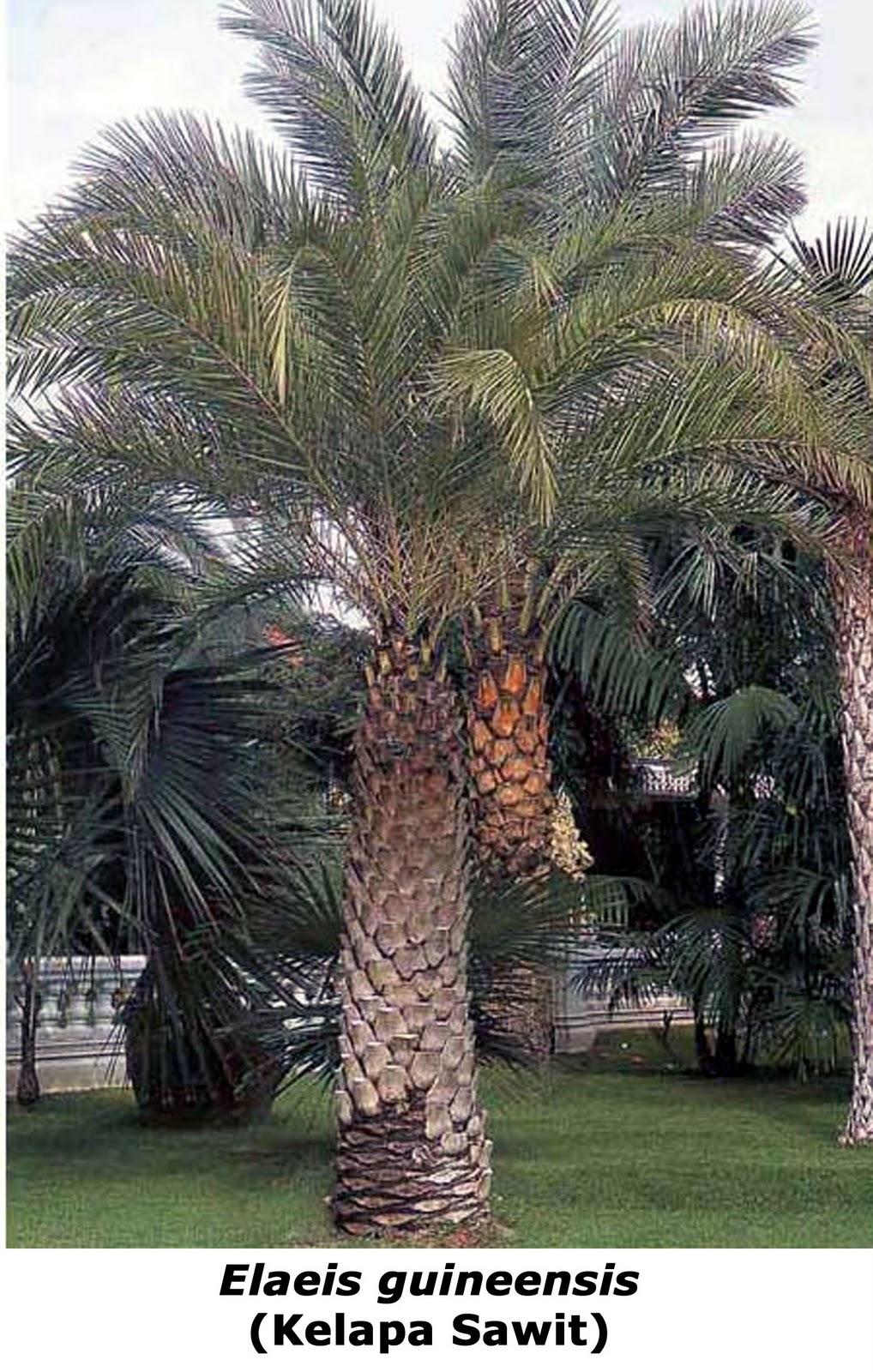 Buildfun Palm Elaeis Guineensis