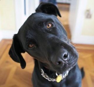 confused labrador