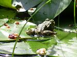 une grenouille.