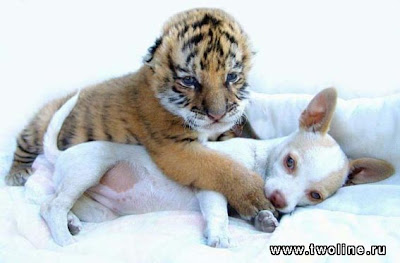 tiger and dog