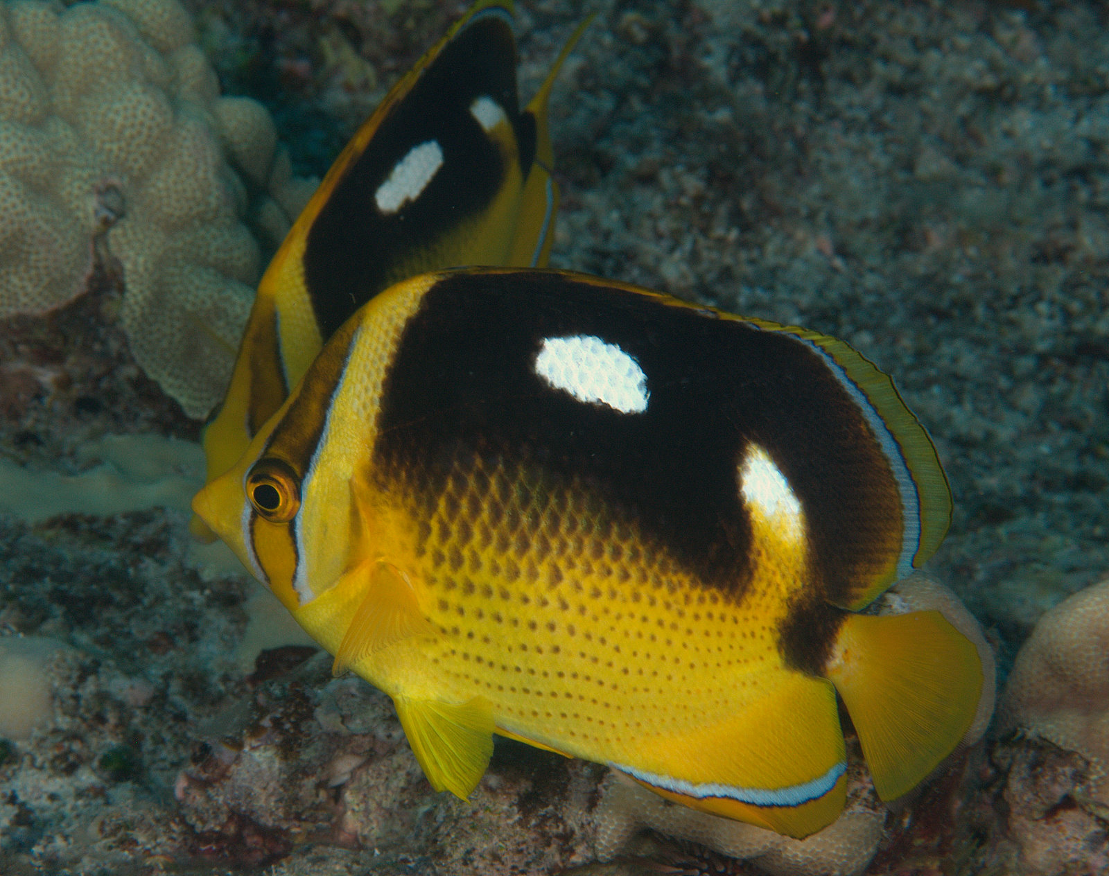 under pressure world: Fourspot Butterflyfish- Kona, HI