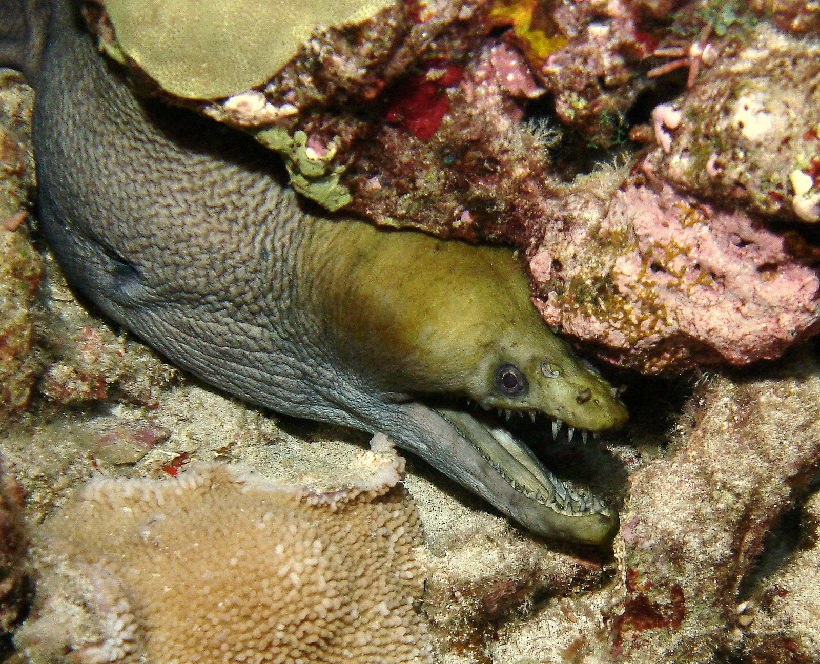 under pressure world: Viper Moray- Kona, HI