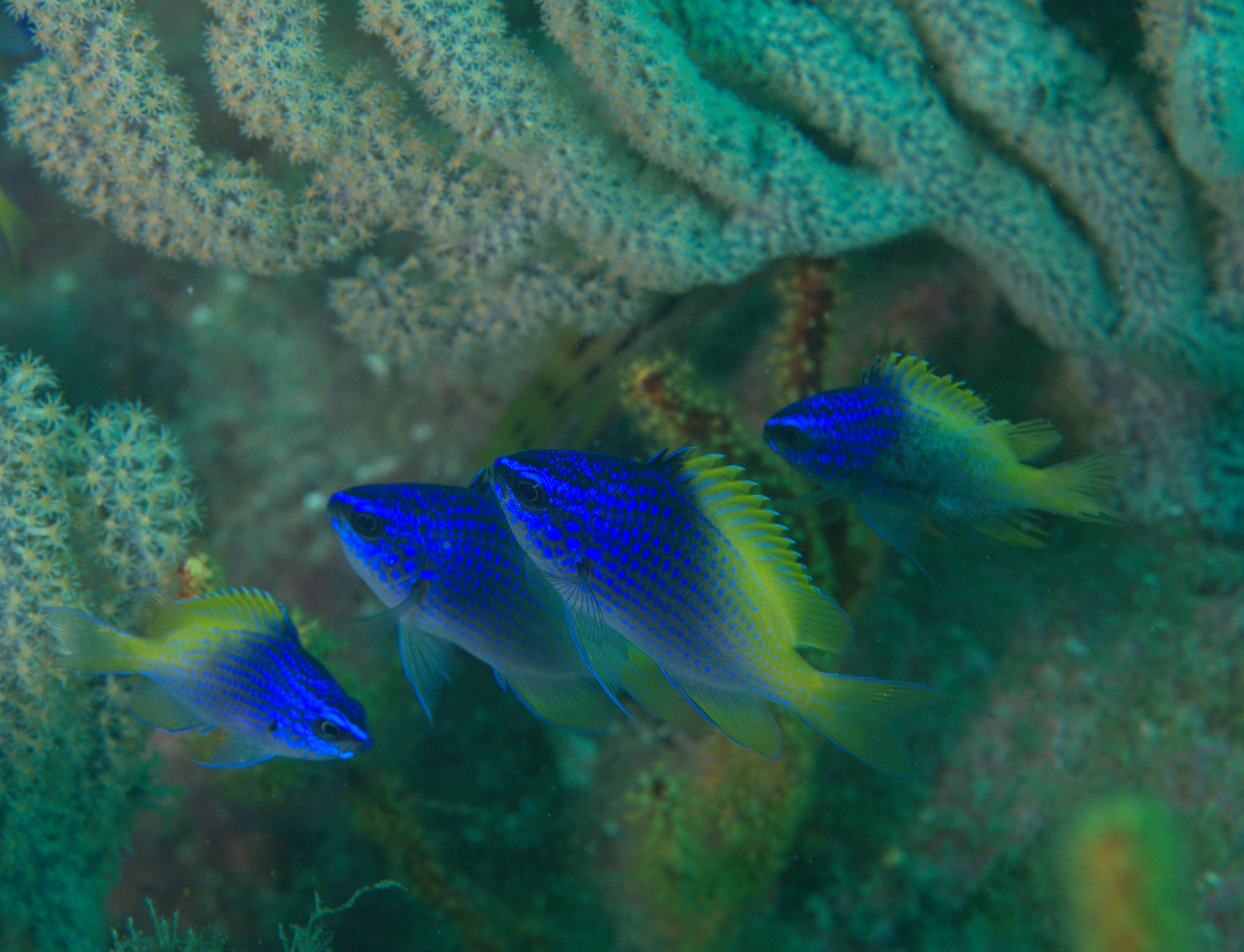 under pressure world: Blue-and-Yellow Chromis- Sea of Cortez