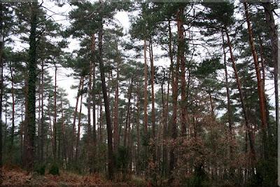 Cruzamos una zona de pino silvestre