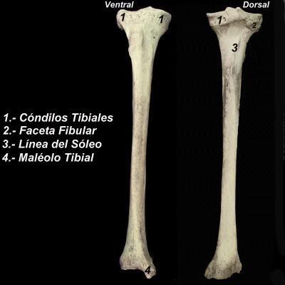 ABC-UVM Anatomia II