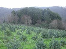 a forestación de terras agrárias, outra entrada para os eucaliptos