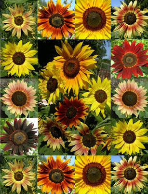 Besides providing a good deal of color to a summer landscape, sunflowers are