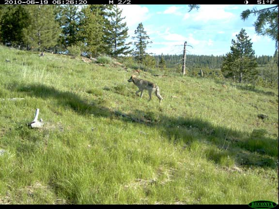 Adult wolf from the Imnaha pack (ODFW Photo)