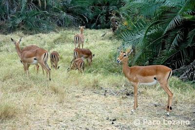 African gazelles