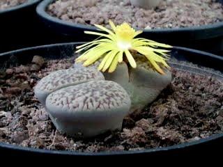 lithops-planta-cultivo-pedra