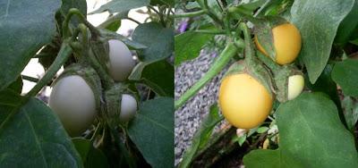 planta ovo