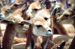 Camelidos Andinos