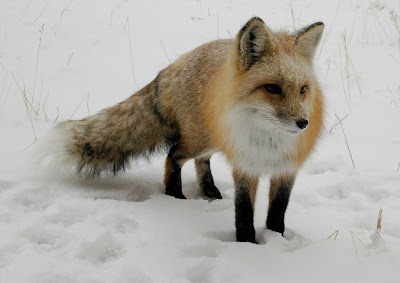 Fox in Snow by Rob Lee from flickr (CC-ND)