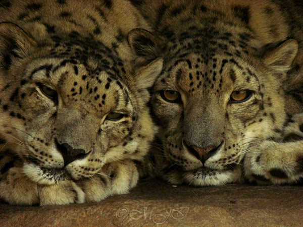 Cuddling Snow Leopards by MJIphotos from flickr (CC-NC-ND)