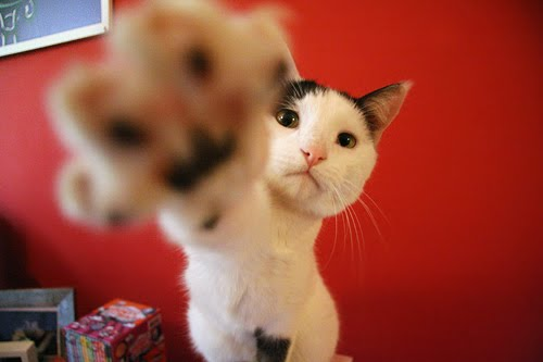 Gimme gimme by fofurasfelinas from flickr (CC-NC-ND)