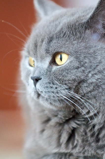 Russian Blue by Adam Zdebel from flickr (CC-NC-ND)