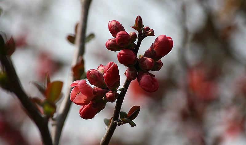 Moments de partage groseilller fleurs et pommier ou cognassier du japon - Pommier du japon fruit ...