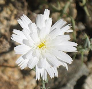 Desert chicory closeup