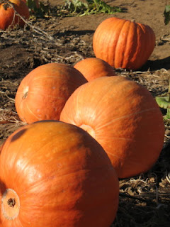 Glorious pumpkins ripen in the sun at the SRF patch in Encinitas, California (better than condos!)