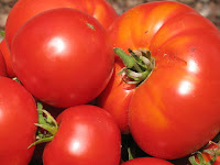 Harvested homegrown tomatoes