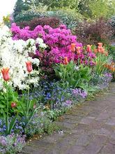 Azalias - front garden path