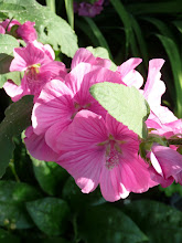 Lavateria or Tree Mallow