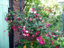 A hanging basket of trailing fuschias