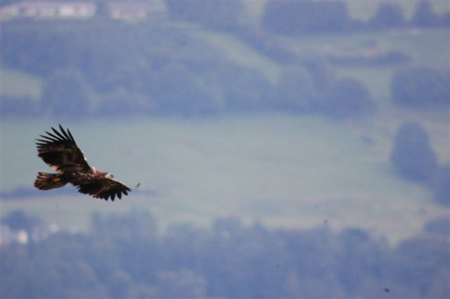Masters Of The Sky White Tailed Eagle In Killarney National Park