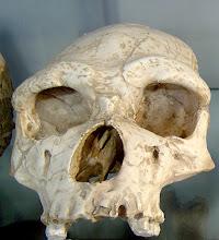 Fósil Homo Erectus (Craneo)