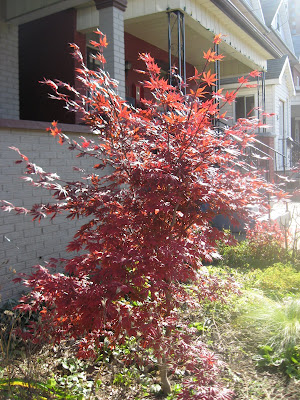 Before & After: My Japanese Maple Tree