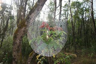 Spider's web, Bhagavathi.