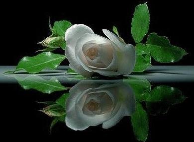 Gifs animados de rosas blancas ~ Gifmania - Imagenes De Rosas Blancas Animadas