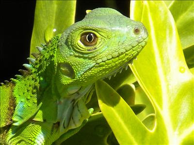 Green Iguana Care Sheet  Reptiles Magazine your source