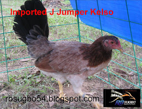 Cock fighting johnny jumper rooster