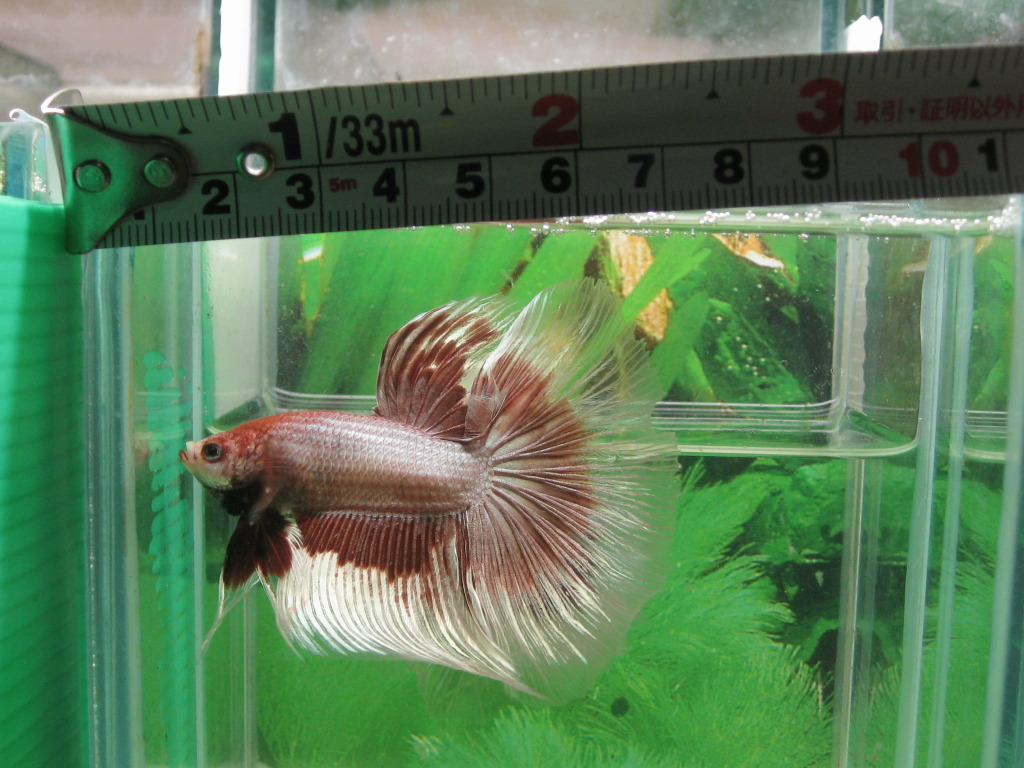 Tropical fish export and import betta giant super for Biggest betta fish